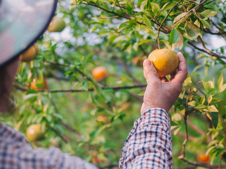 Buntan & Konatsu - The Rise of Japanese Citrus