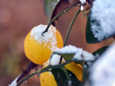 Yuzu: From Your Bath to Your Kitchen