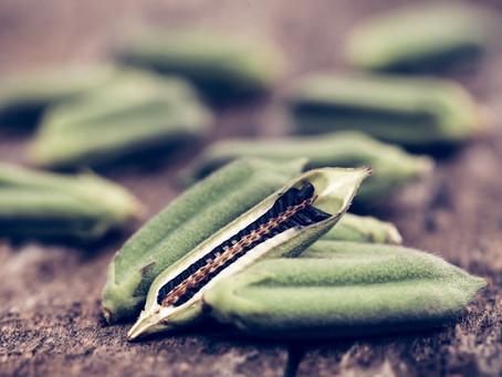 Sesame - The Oldest Oilseed Crop
