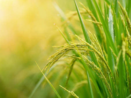 Rice - The Third Largest Agricultural Commodity