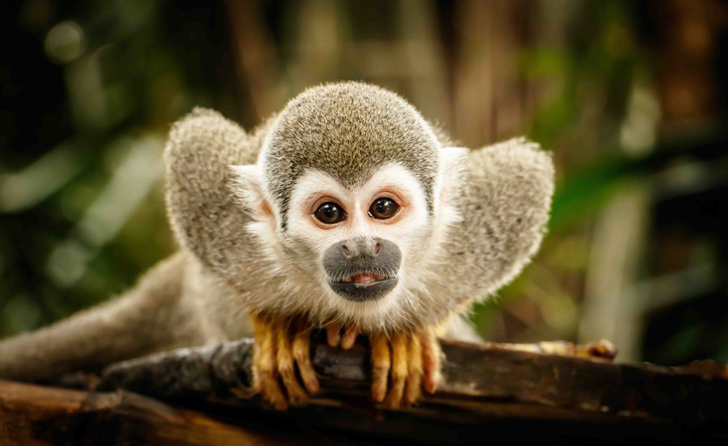 Monos del Amazonas