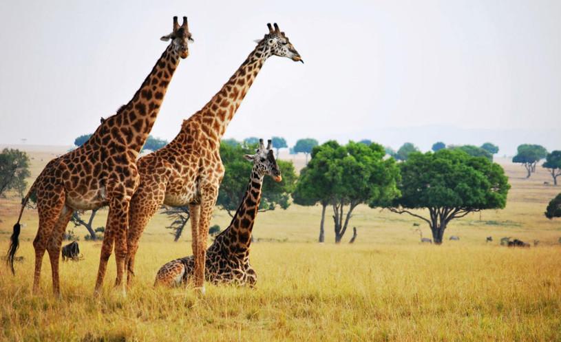 Jirafas en Kruger
