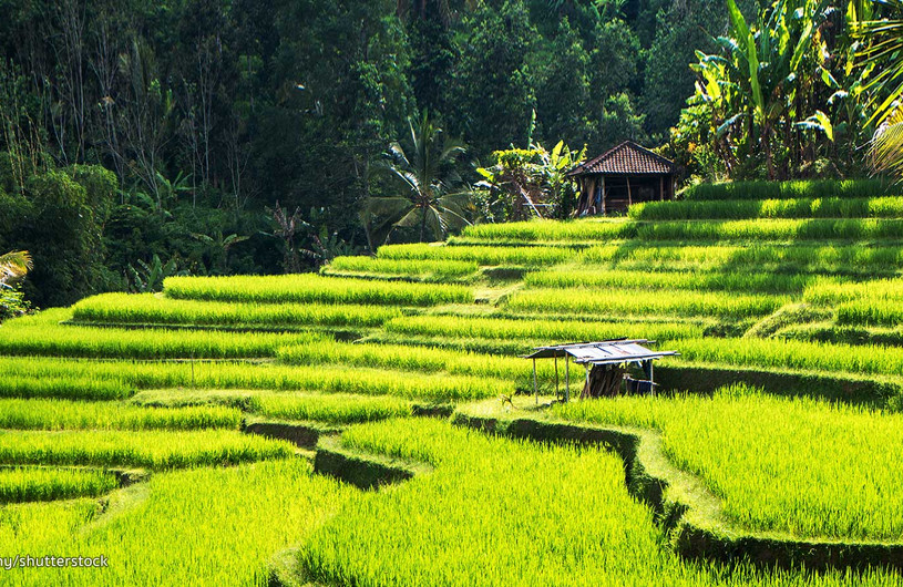 Indonesia Arrozales