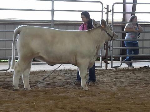Courtney with her show heifer