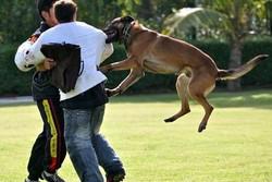 attack-dog