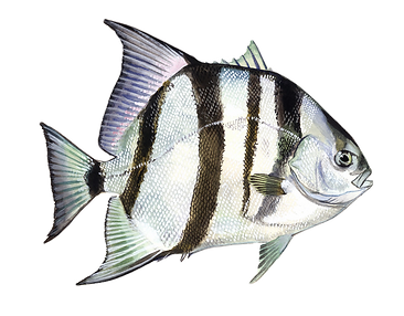 Spade%2520fish%2520Miramar%2520Beach%252