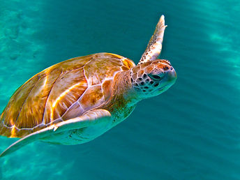 Green sea turtle Destin.jpg
