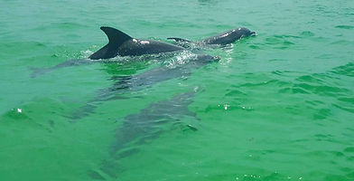 Dolphins swimming in Destin, Florida
