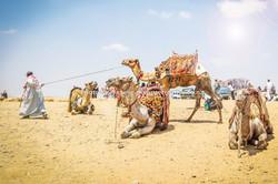 egypt camels-1