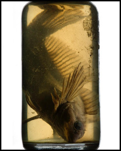 Specimens: Fish in a Jar, archival electronic print, 20 x 16 inches