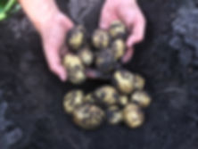 Reiter-Kartoffeln.JPG