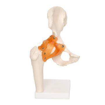 Human Hip Joint Anatomical Model