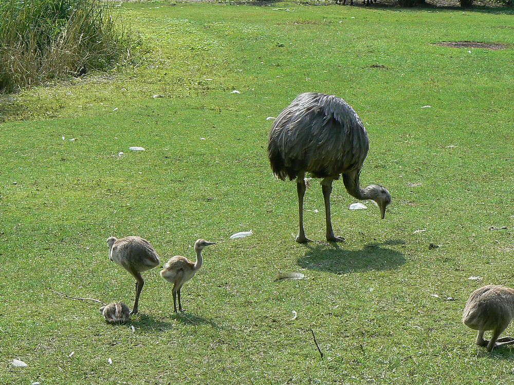 rhea bird with chicks