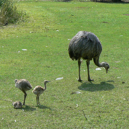 Big-bird Dads Are the Rhea Deal
