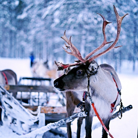 Unique Reindeer