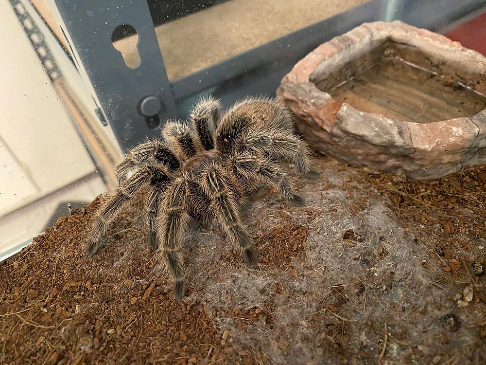 Turantula named Aragog