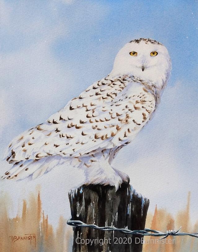 2020_09_30 Snowy Owl 11 x 14 DBannister