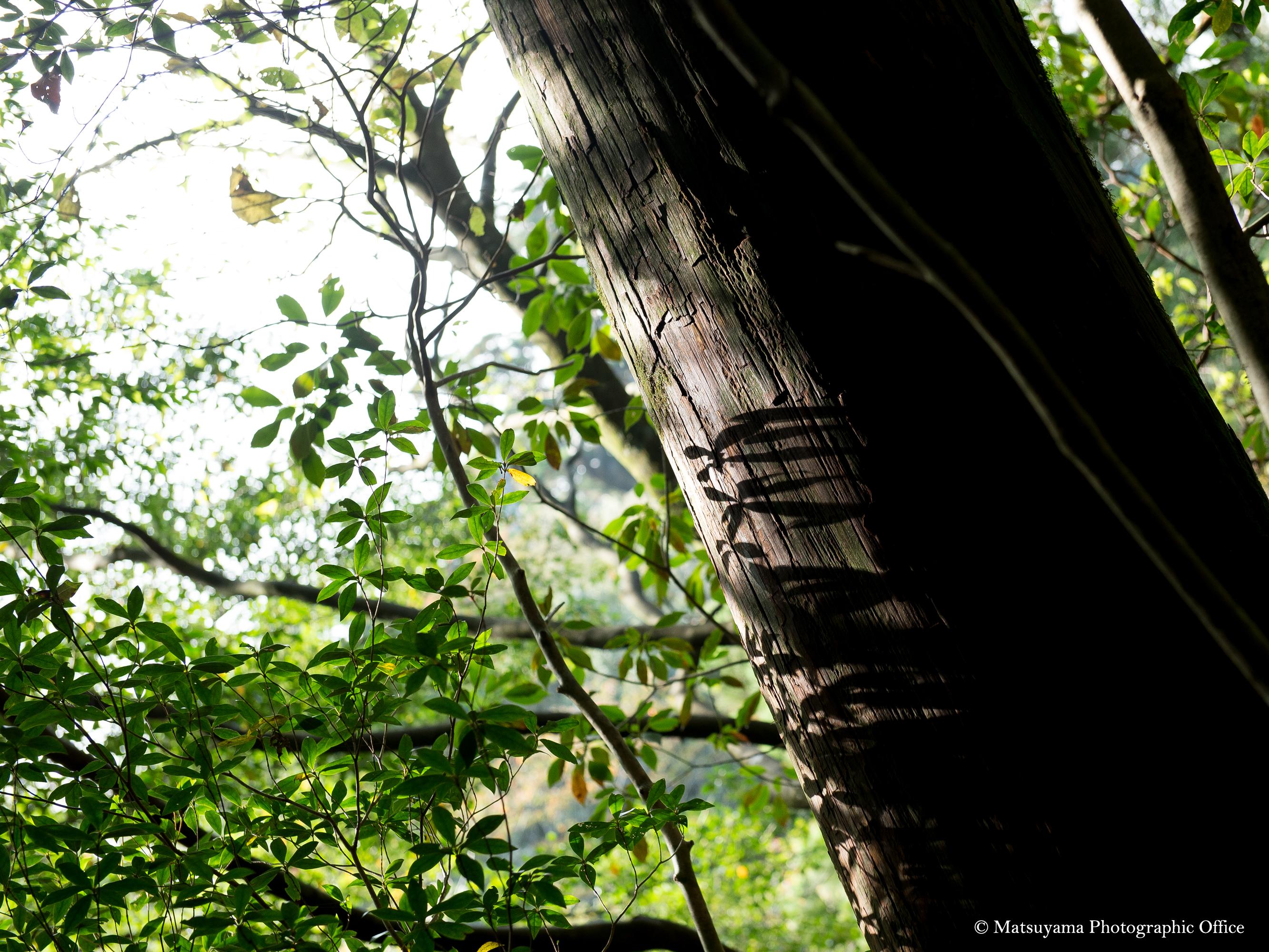 Yakushima.Forest_4082