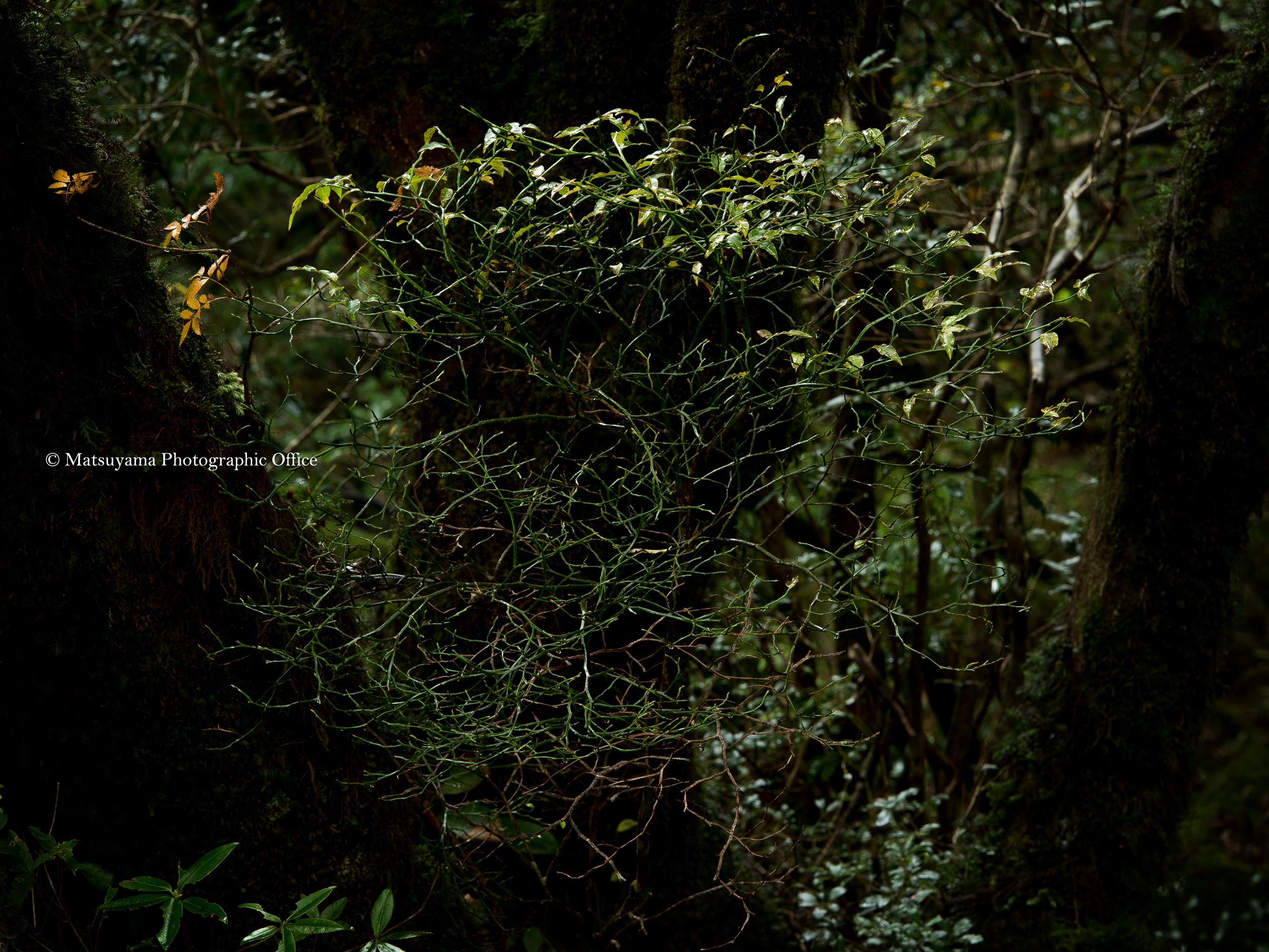 Yakushima.Forest_6387