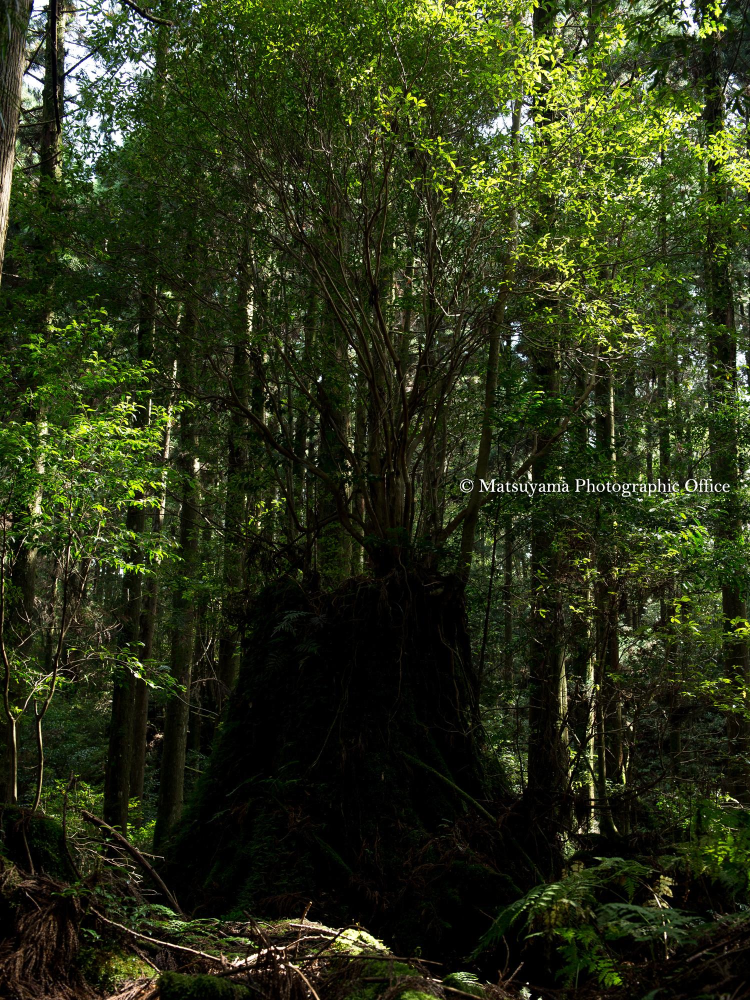Yakushima.Forest_4014