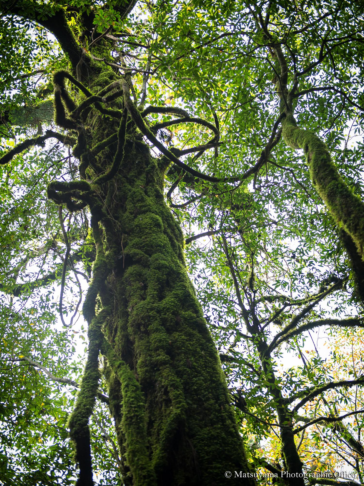 Yakushima.Forest_3561