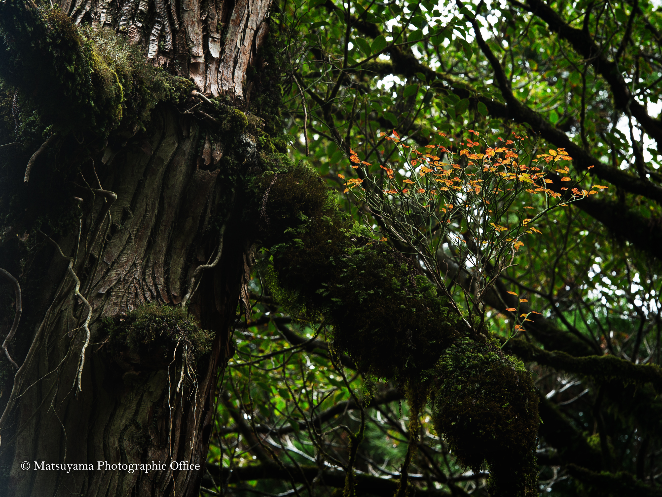 Yakushima.Forest_6382