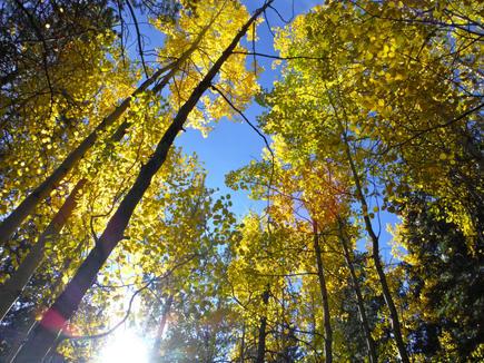 Glowing Aspens on the Colorado Trail near Mount Elbert CO 9.19.17