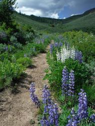 Lupine Wildflowers Grand County CO 6.9.16