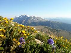 Trailside wildflowers on Mount Elbert CO 7.6.17