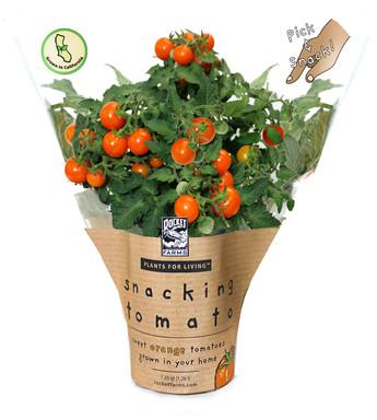 Tomato_5in_Orange_fruit.jpg