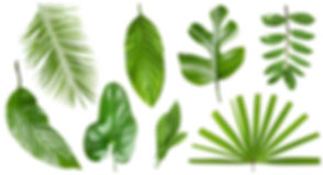 Set of different fresh tropical leaves o