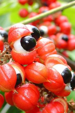 ZIP-fruto-guarana