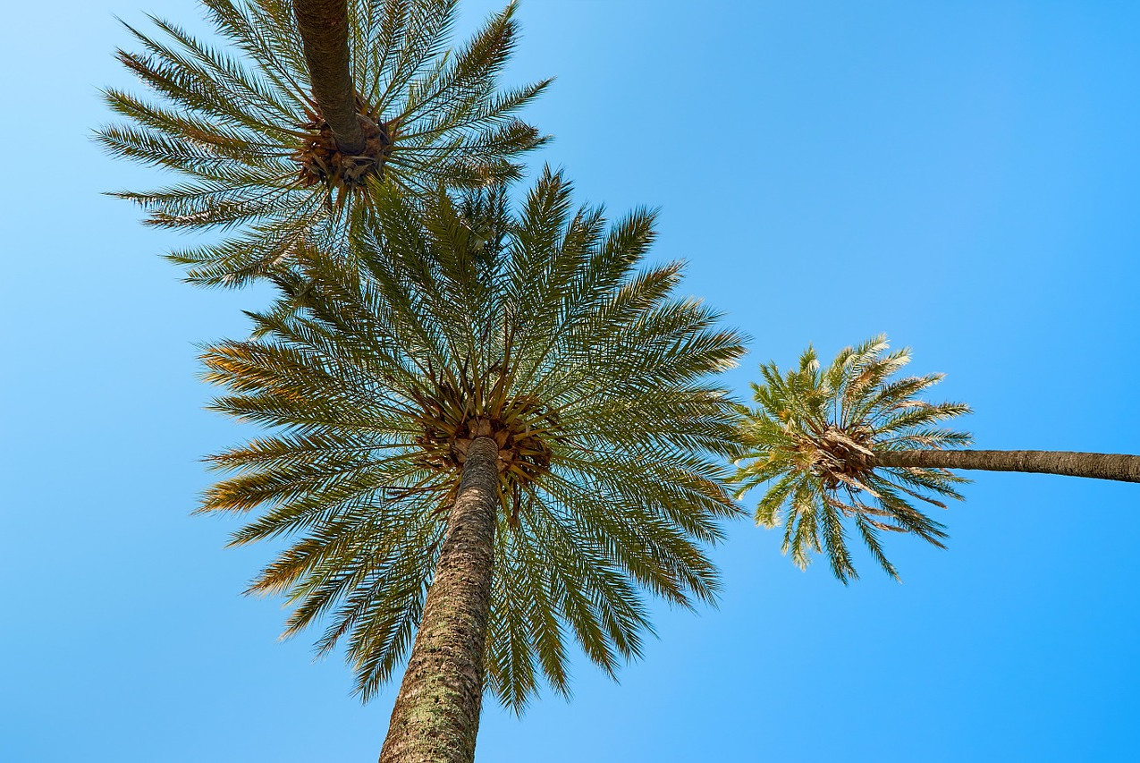 palm-trees-660445_1280