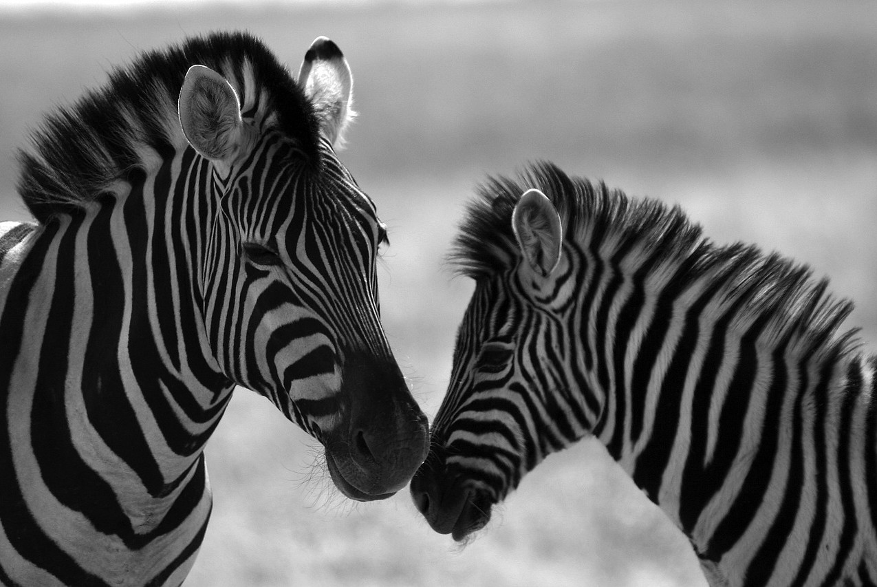 zebra-4630217_1280