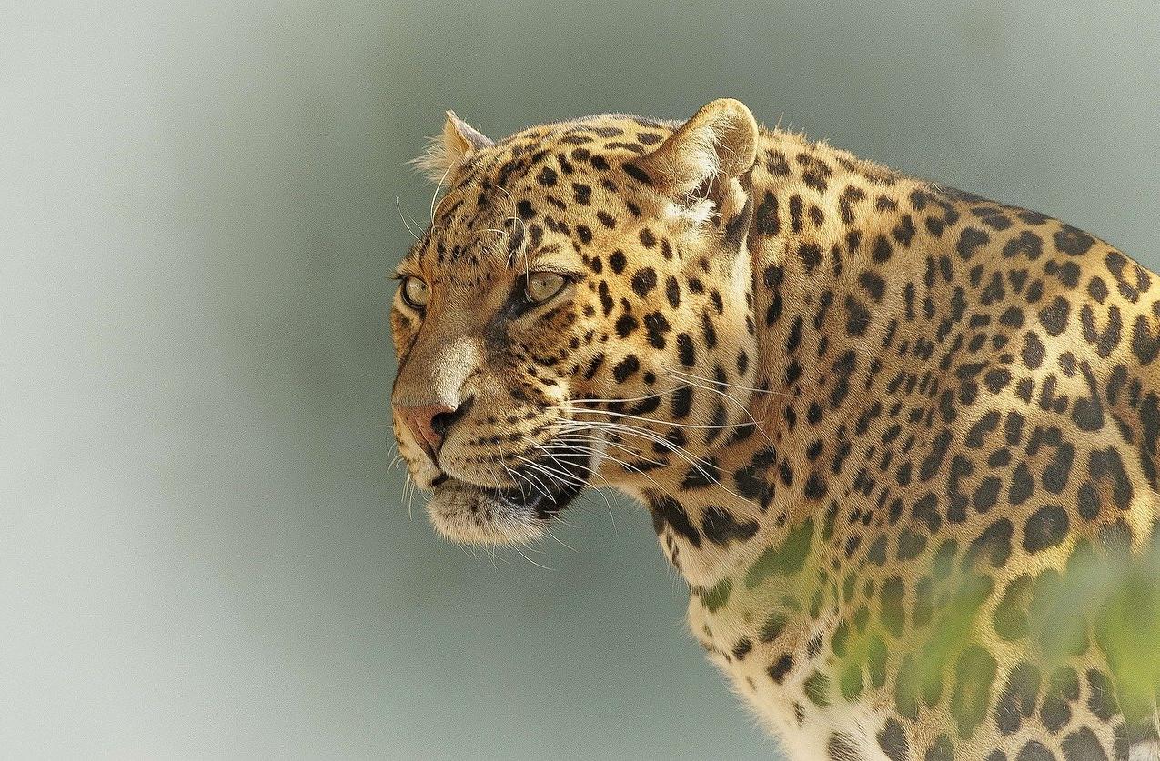 leopard-2798940_1280