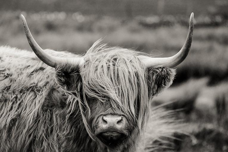 Scottish%20Highland%20cattle_edited.jpg