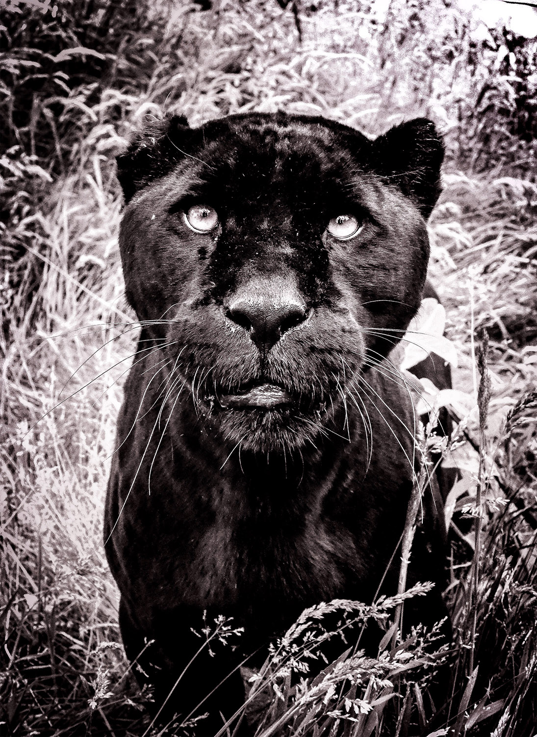 black jaguar bnw.2