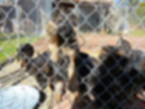 Erik vom Nordteich German shepherd puppies