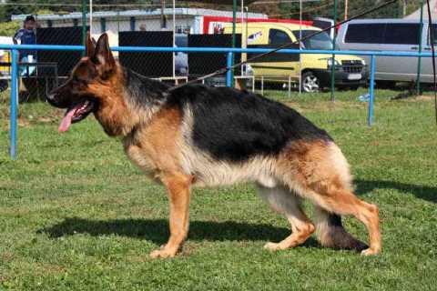 German shepherd puppies for sale in Virginia