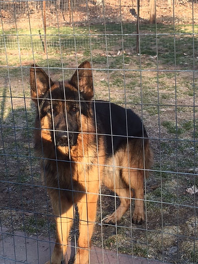 Landos male imported German Shepherd