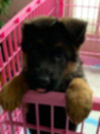 German shepherd puppy Gino