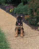 male Geman shepherd puppy