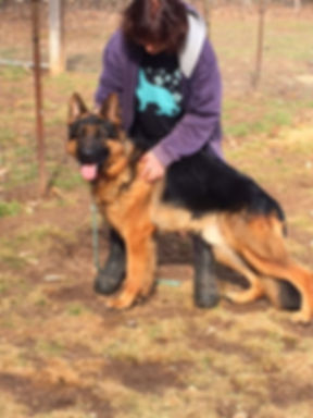 Landos male imported German Shepherd
