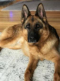 Lana 5years female german shepherd