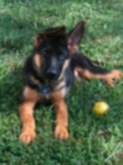 Eros male geman shepherd puppy