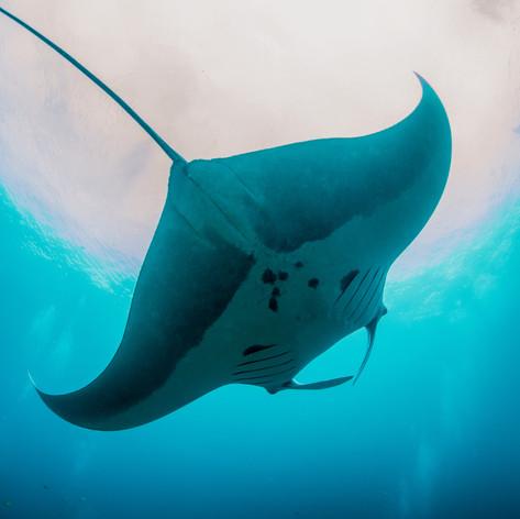 Oceanic Manta