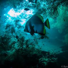 Bali Batfish