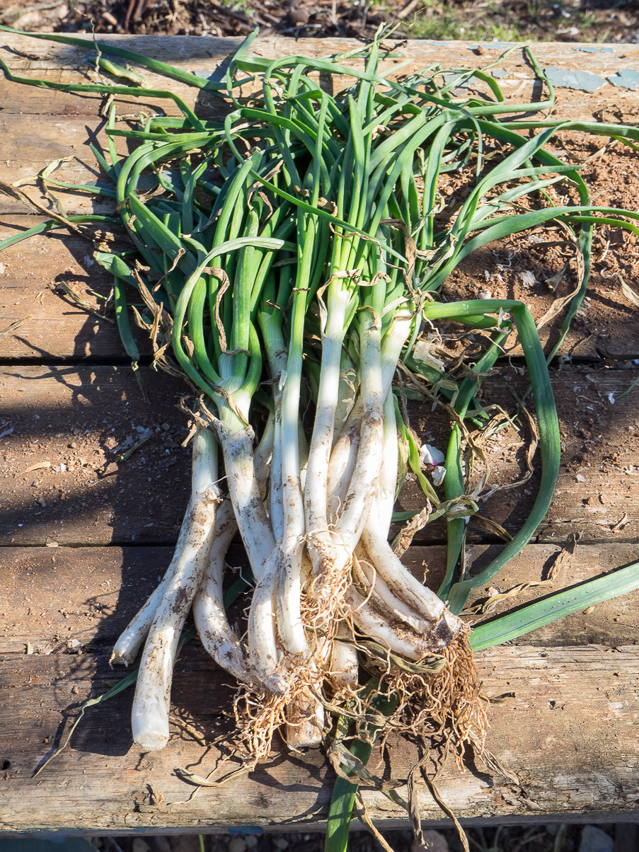 """At the end of January starts the season of """"calçots"""", a white and sweet long onion"""