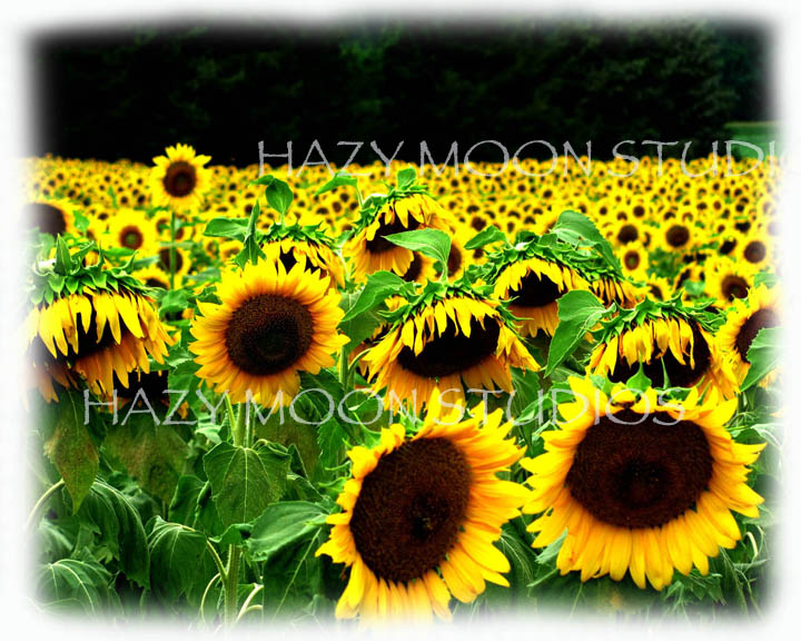 WMsunflowers.jpg