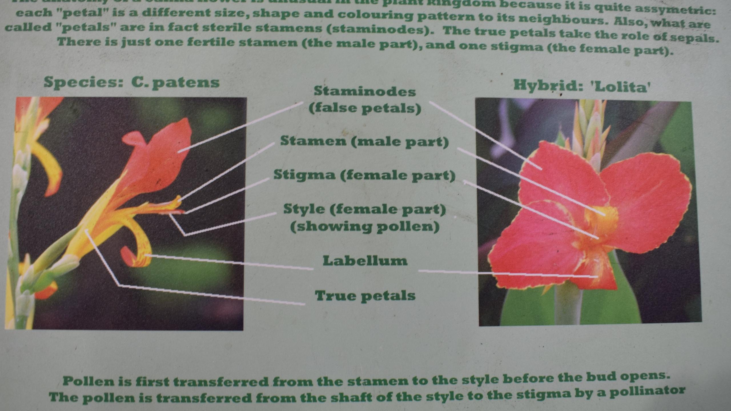 Anatomy of Canna Flower